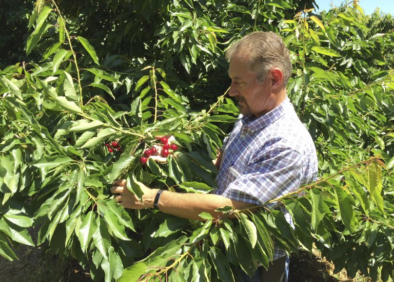 Jeff Colombini looks over bing cherries in one of his orchards in Friday, June 1, 2018, in Stockton, Calif. Colombini is worried about the financial impact of retaliatory tariffs on his 1,800 acre farm, which grows and exports apples, cherries and walnuts. Mexico, Canada and the EU are threatening tariffs on a variety of US products in response to the Trump administration's tariffs on steel and aluminum imports. (AP Photo/Terry Chea)