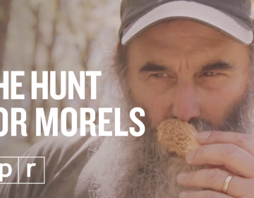 Nick Spero hunts for morel mushrooms somewhere in Maryland (NPR)