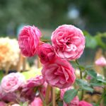 The Many Foes of Roses