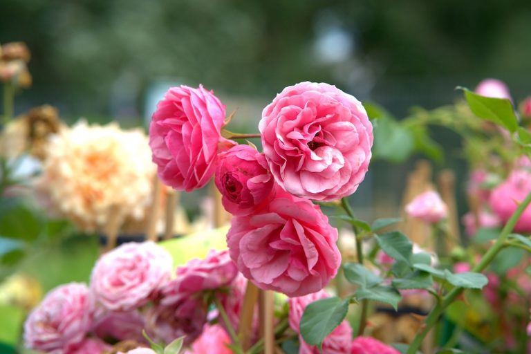 the many foes of roses you bet your garden whyy