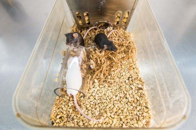 Three mice climb on and around a clear transport tube. These mice also have crinkled paper nesting material, which they have gathered into one end of their cage in preparation for building a nest. Photo credit: Austin Thomason, Michigan Photography
