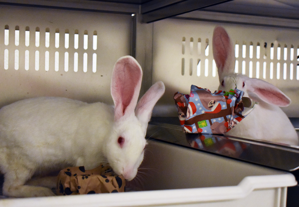 Two rabbits play with gift-wrapped toys. Rabbits enjoy shredding and chewing on paper. Once they have removed the paper, the rabbits can play with the toys and treats inside. Photo credit: Amy Puffenberger, University of Michigan Animal Care & Use Program