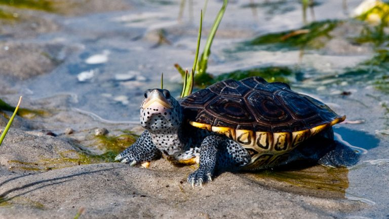 A diamondback terrapin turtle. (Big Stock)
