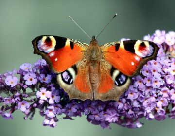 A peacock butterfly in Hurworth-on-Tees, England, in 2013. Peacock butterflies are one of the species the Big Butterfly Count is tracking, with the help of citizen volunteers. (Chris Golightly/Flickr)