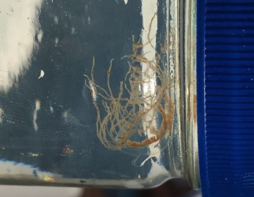 A clinging jellyfish found near Tices Shoal in the Barnegat Bay, a popular boating hangout. (Dr. Paul Bologna)