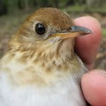 This veery songbird can predict the severity of the coming hurricane season more consistently than meteorologists, according to research published this month by Delaware State University professor Christopher Heckscher. (Courtesy DSU)