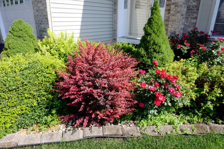 A red crimson Japanese barberry bush (Berberis thunbergii) grows in the middle of a decorative garden in front of a home  (Bigstock/Willard Losinger)