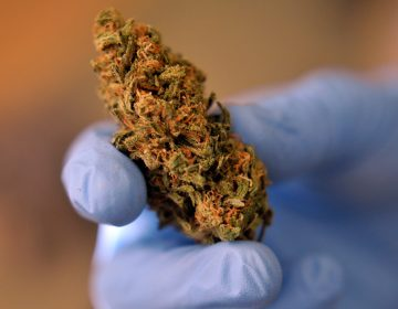 A dispensary employee holds a medical marijuana flower,