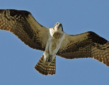 The osprey population has grown in part because of a decline in contaminants in the Delaware estuary. (Photo/U.S. Fish & Wildlife Service)