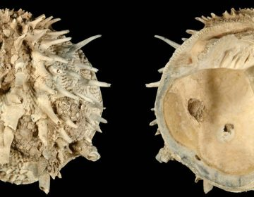 Arcinella cornuta was included in a new study of fossil and extant bivalves and gastropods in the Atlantic Ocean. Researchers found that laziness might be a fruitful strategy for species survival. (Neogene Atlas of Ancient Life / University of Kansas)