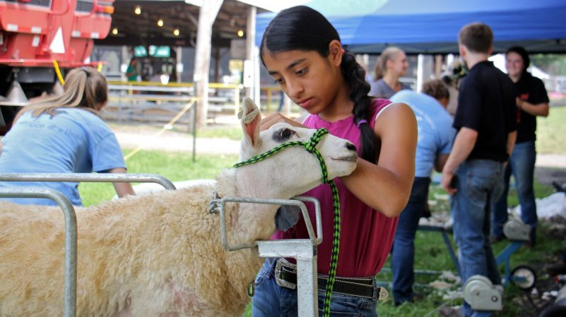Elena Latorre, 13, of Yardley, carefully grooms her Cheviot lamb for the 4-H fitting competition at the Middletown Grange Fair. Fitting is a way of grooming the lamb for market so that it looks meatier. (Emma Lee/WHYY)