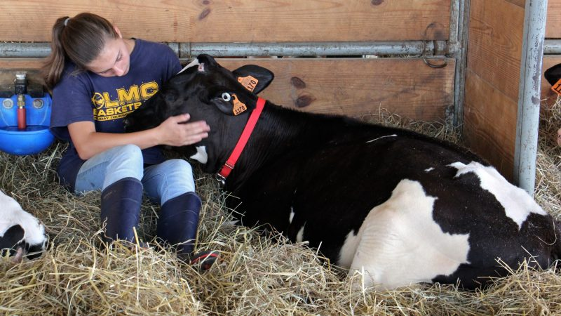 Grace Malobisky, 13, of Doylestown, settles down in the hay with her Holstein calf, Patsy, at the Middletown Grange Fair. (Emma Lee/WHYY)