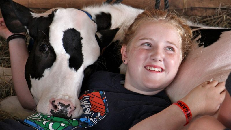 Isabella Paglaiccetti, 11, of Feasterville, snuggles with a Holstein calf in the cow barn at the Middletown Grage Fair. (Emma Lee/WHYY)