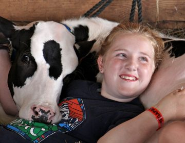 Isabella Paglaiccetti, 11, of Feasterville, snuggles with a Holstein calf in the cow barn at the Middletown Grange Fair.