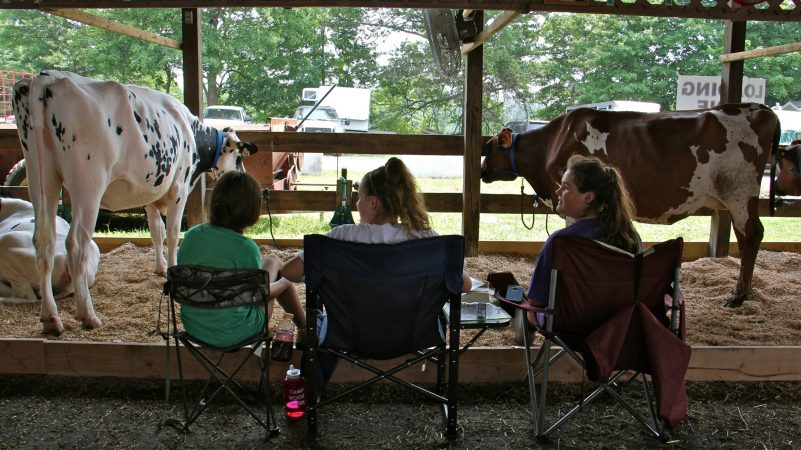 Veteran 4-H competitors (from left) Olivia Davis-Eagan, Kate Dengler, and Jessica Durbin, all 14, keep watch over their cows at the Middletown Grange Fair. At night, the girls pull out their cots and sleep with the cows. (Emma Lee/WHYY)
