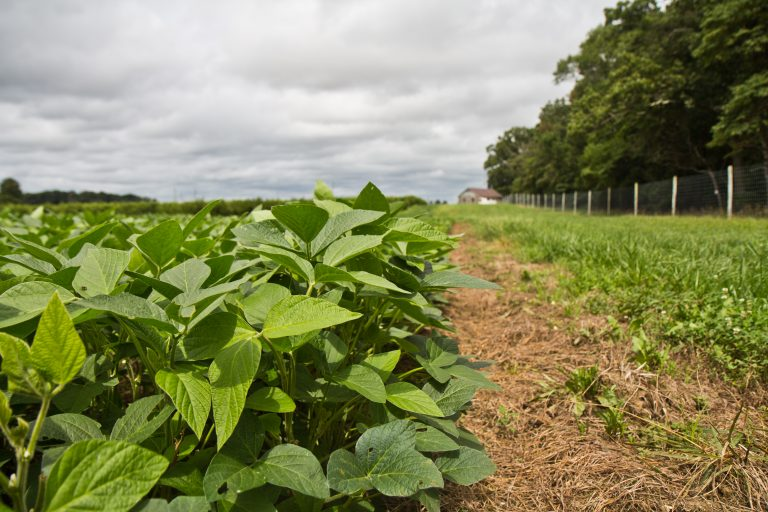 Soybeans grow at Rutgers University experimental farm in Bridgeton, New Jersey. Gallup polling finds Americans favor  industries connected to food – restaurant, farming, grocery. (Kimberly Paynter/WHYY)