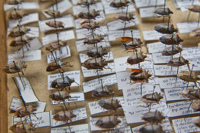 Brown marmorated stink bugs collected by entomologist Anne Nielsen. (Kimberly Paynter/WHYY)