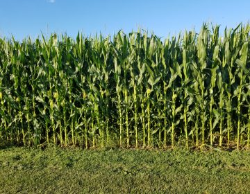 A new report out of Penn State University says corn production in the Southeastern part of the state could be especially vulnerable in the coming decades. (Photo provided by Greg Roth/Penn State)
