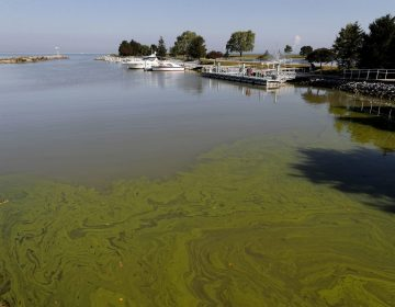 FILE - In this Sept. 15, 2017, file photo, algae floats in the water at the Maumee Bay State Park marina in Lake Erie in Oregon, Ohio. (AP Photo/Paul Sancya, File)