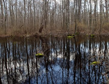A photo of a Delmarva bay in spring shows the wetland flooded. In summer and fall this same wetland is dry. This isolated wetland falls under Obama's Waters of the U.S. Rule. (Courtesy of DNREC)