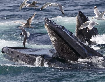 Humpback whales feed at the Stellwagen Bank National Marine Sanctuary near Provincetown, Mass., on July 9, 2014. (J. Scott Applewhite/AP)