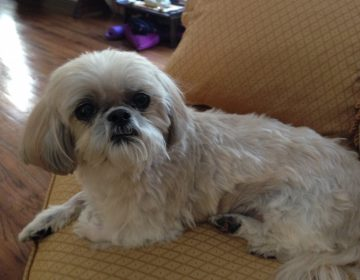 Dr. Dan Gottlieb's late pet shih tzu, Cinnamon. (Image courtesy of Dr. Dan Gottlieb)
