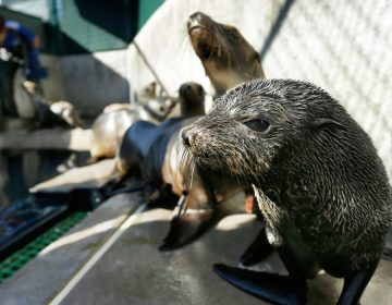 "A Guadalupe fur seal, foreground. Rescue crews are seeing a higher than average amount of stranded sea lions. Marine biologists nicknamed a patch of persistent high temperatures in the Pacific Ocean between 2013 and 2016 ""the Blob."" During that period, decreased phytoplankton production led to a ""lack of food for many species,"" from fish to marine mammals. (AP Photo/Gregory Bull)"
