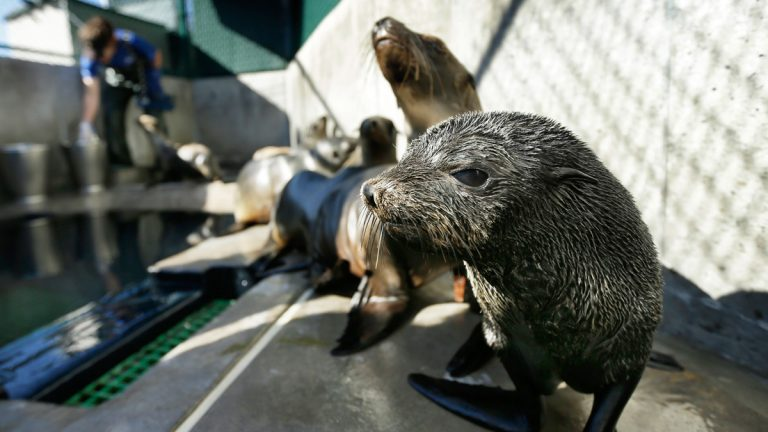 """A Guadalupe fur seal, foreground. Rescue crews are seeing a higher than average amount of stranded sea lions. Marine biologists nicknamed a patch of persistent high temperatures in the Pacific Ocean between 2013 and 2016 """"the Blob."""" During that period, decreased phytoplankton production led to a """"lack of food for many species,"""" from fish to marine mammals. (AP Photo/Gregory Bull)"""
