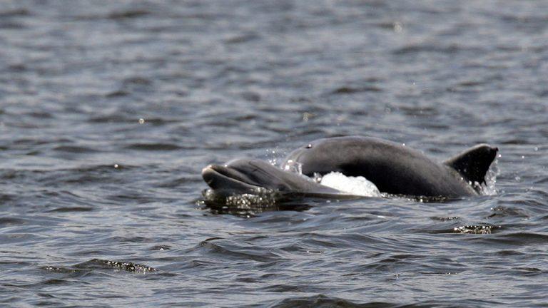 Dolphins swim in the Shrewsbury River Wednesday, July 2, 2008, in Sea Bright, N.J. (AP Photo/Mel Evans)