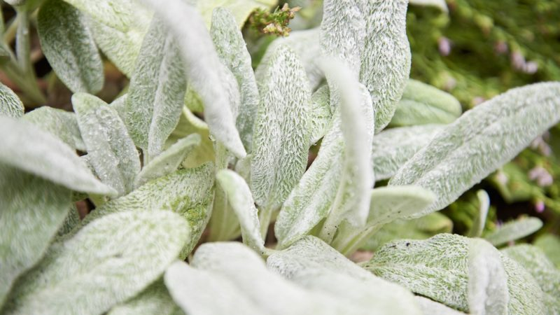 Betony Woolly (Stachys lanata) has been used for centuries as a wound dressing. The plant also has antiseptic and anti-inflammatory properties. (Natalie Piserchio for WHYY)