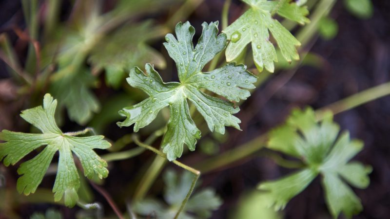 Cranesbille (Geranium maculatum) was considered a treatment for benign prostate hypertrophy and heavy menstruation. (Natalie Piserchio for WHYY)