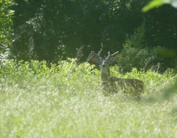 The deer population is too dense for the habitat at the John Heinz National Wildlife Refuge, refuge managers say. U.S. officials have decided the refuge will be one of 30 national wildlife areas opened to hunting and fishing for the first time — or expanded to increase hunting access to public lands. (John Heinz National Wildlife Refuge)
