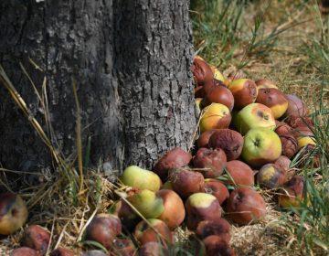Thanks to ethylene, onebad apple spoils the lot