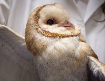 Scientists at Johns Hopkins University are studying barn owls to understand how the brain maintains focus. (Meredith Rizzo/NPR)