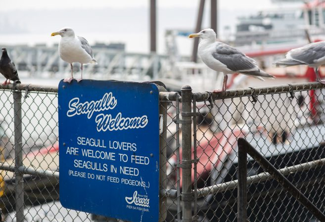 Seagulls and a lone pigeon wait for scraps from Ivar's customers on the waterfront on Wednesday, August 15, 2018 in Seattle, Washington.  (Lindsey Wasson for the Inquirer)