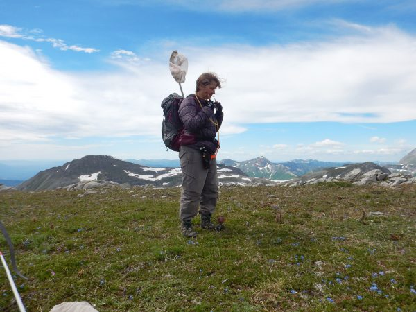 Claudia Copley begins  her work collecting insects and spiders on Mt. Whitford, British Columbia. Copley manages the entomology collection at the Royal BC Museum in Victoria, British Columbia. (Molly Segal)