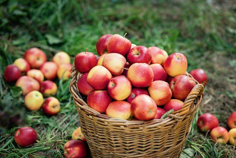 Apple harvest. (Serenkonata/BigStock)