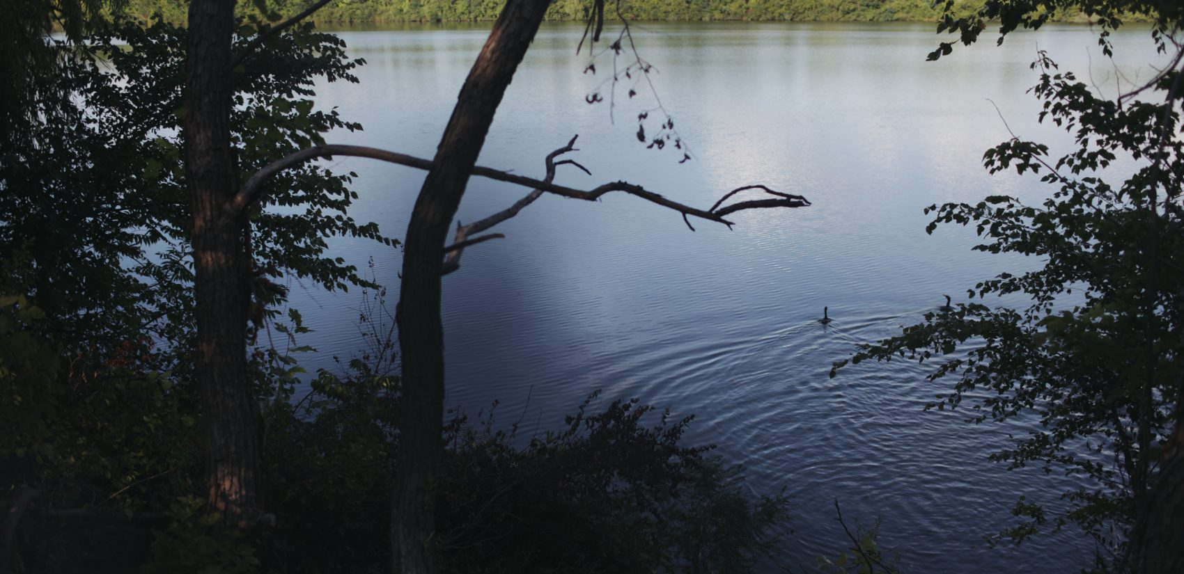 Cormorants swim out into the reservoir from a log. (Neal Santos for PlanPhilly)