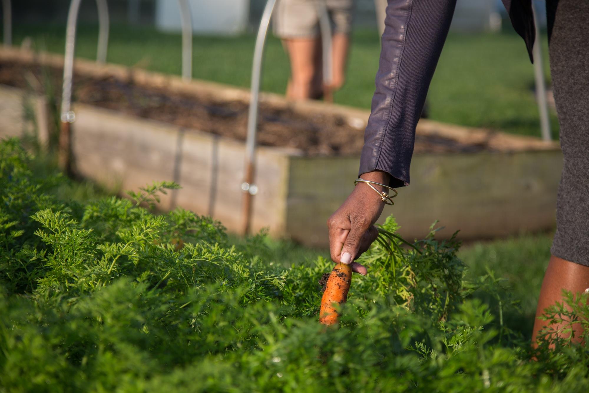 Chinwe Onyekere, picks a carrot from the hospital's Wellness Farm.