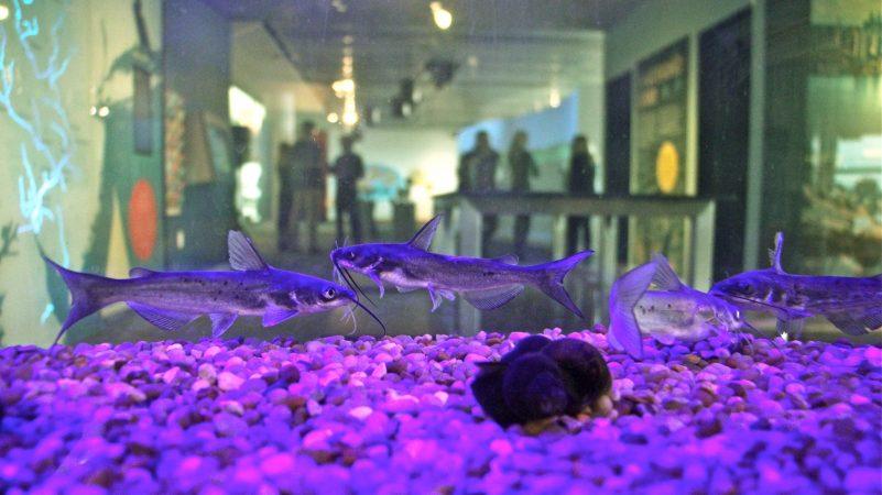 Catfish swim in a tank in the