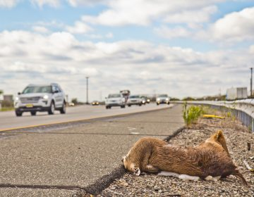 A deer carcass on the side of Interstate 95 in Pa. (Kimberly Paynter/WHYY)