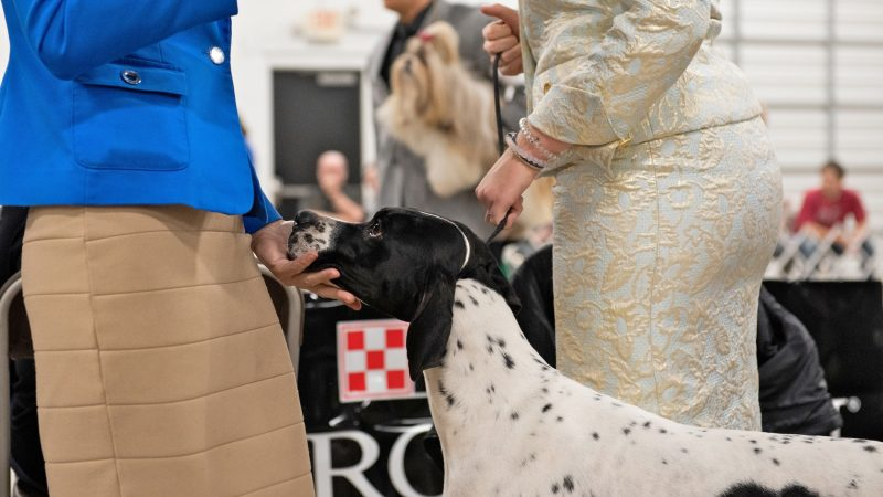 Julia, a 5-year-old English pointer, rests her head in the hand of June Beckwith at the National Dog Show in Oaks, Pa. (Kriston Jae Bethel for WHYY)