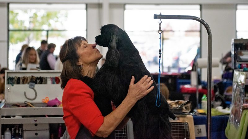 Judy Sarkisian gets a kiss from her grand champion cocker spaniel, Kisian's Royal Gala, at the National Dog Show in Oaks, Pa. (Kriston Jae Bethel for WHYY)