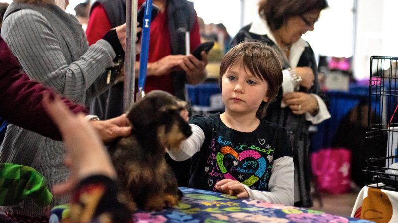Lucy Keeling, 8, pets Sadie, a miniature wire-haired dachshund, at the National Dog Show in Oaks, Pa. (Kriston Jae Bethel for WHYY)