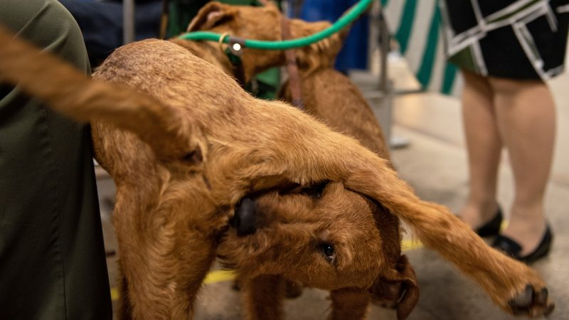 Irish terriers Bailey and Cooper play during the National Dog Show in Oaks, Pa. (Kriston Jae Bethel for WHYY)