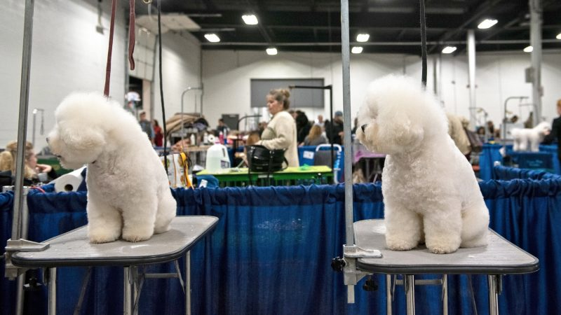 CeCe and Cooper, two bischon frises, have their attention pulled at the National Dog Show in Oaks, Pa. (Kriston Jae Bethel for WHYY)