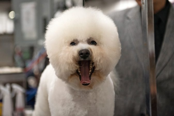 A bischon frise yawns during the National Dog Show in Oaks, Pa. (Kriston Jae Bethel for WHYY)