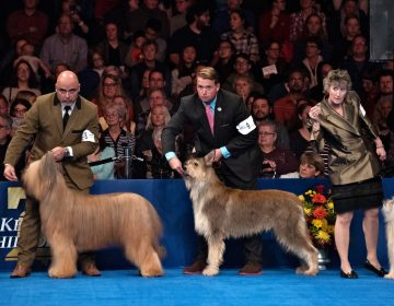 Handlers listen intently during the herding group competition at the National Dog Show in Oaks, Pa.