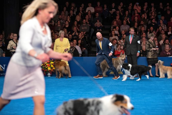 Handlers take their dogs around the ring during herding group competition at the National Dog Show in Oaks, Pa. (Kriston Jae Bethel for WHYY)