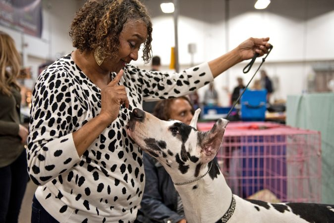 Stacie Stern-Leaphart holds the attention of her harlequin great dane, Lorraine, at the National Dog Show in Oaks, Pa. At 34 inches and 130 pounds, three-year-old Lorraine still has room to grow, but is both the spokesdog for Pergo and recently completed a photoshoot for Free People. (Kriston Jae Bethel for WHYY)